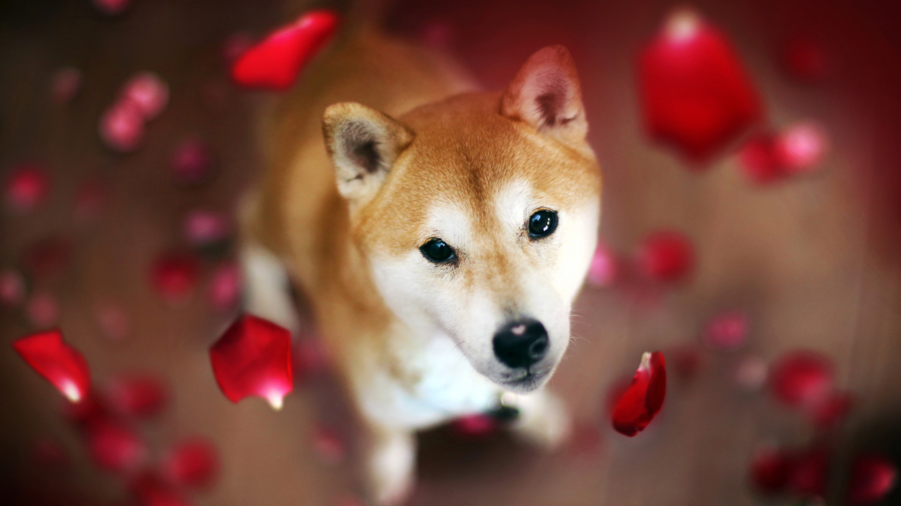 Dogecoin Rival Shiba Inu Spikes in Value While DOGE Prices ...